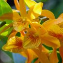 orchidea_cattleya